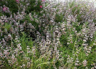 Island Black Sage in a naturalized setting