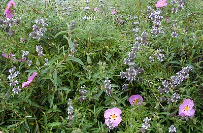 Island Black Sage and Orchid Rockrose