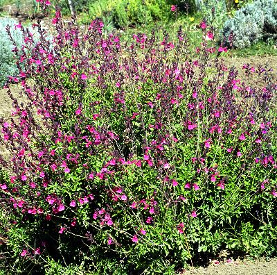 Wild Thing Salvia Bush
