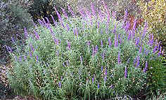 All Purple Mexican Bush Sage in Bloom