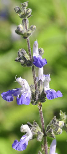 Grape Sage flowers!