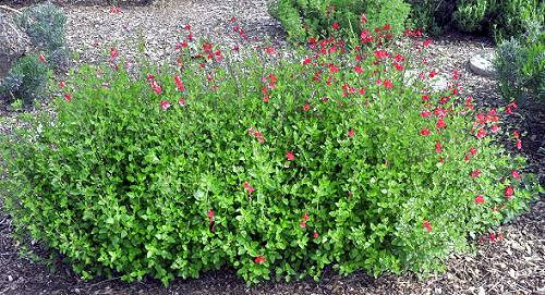 Hot Lips Salvia Bush