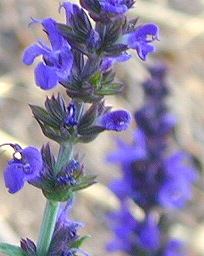 Salvia nemerosa Blue Queen