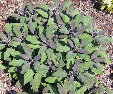 Salvia officinalis Purple Sage