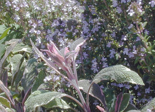 Tricolor Sage with rare bloom