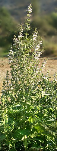 Clary Sage in bloom