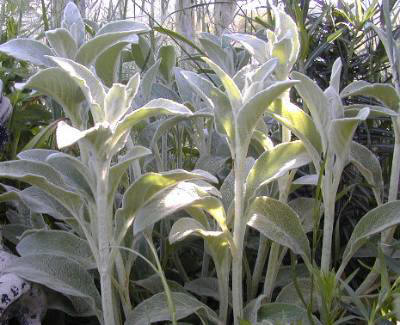 Lamb's Ear Elongating Just Before Bloom