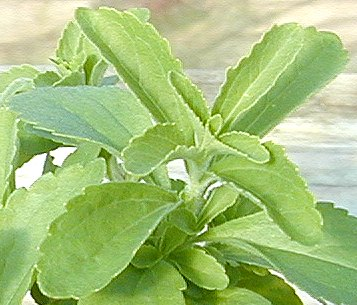 Stevia leaves full of sweet flavor