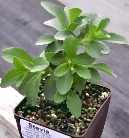 Stevia plant ready for shipping!