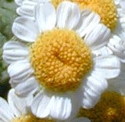 Close Up of One Feverfew Flower