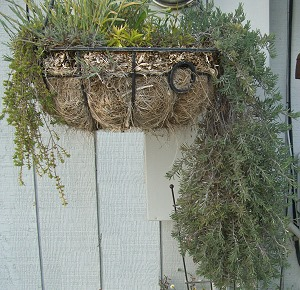 Fruity Teucrium hangs out in a basket