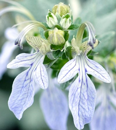 The lovely blue flowers of the Silver Germander plant.