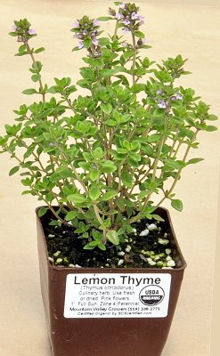 Lemon Thyme plant ready for shipping.