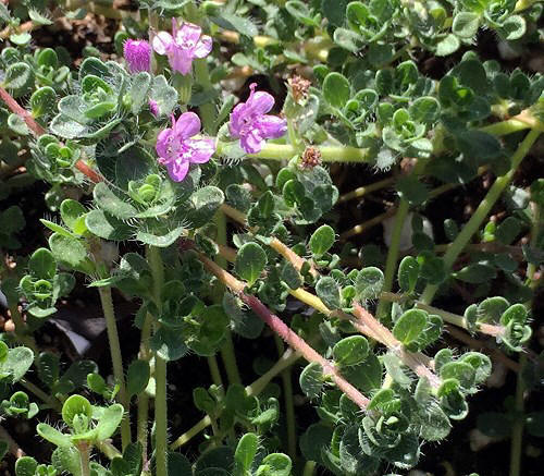 Creeping Pink Thyme