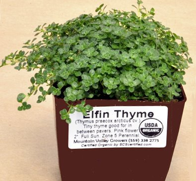 Elfin Thyme plant ready for shipping.
