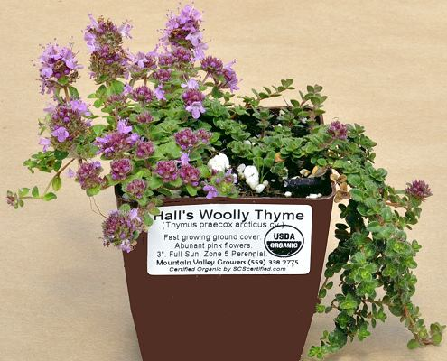Hall's Woolly Thyme plant ready for shipping.