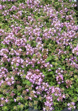 Hall's Woolly Thyme plants burst into color!