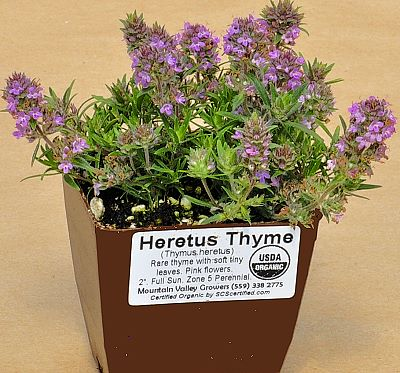 Heretus Thyme ready for shipping.