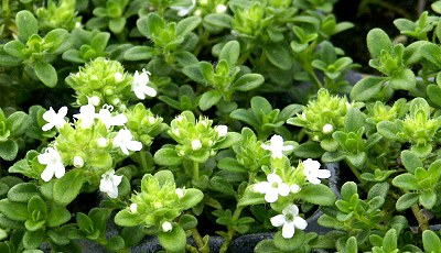 Rich green, white flowering Lemon Frost Thyme!