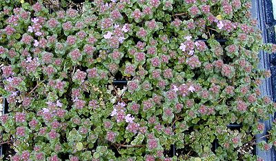 Hall's Woolly Thyme taking over the Plug Tray!
