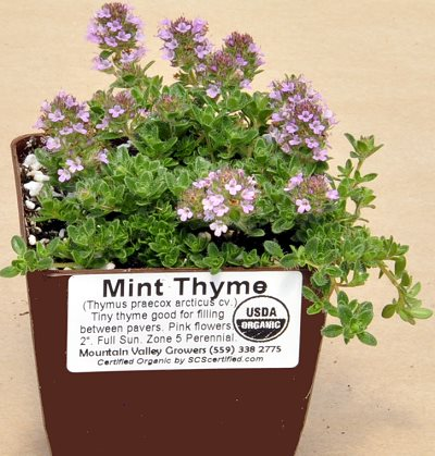 Mint Thyme ready for shipping.