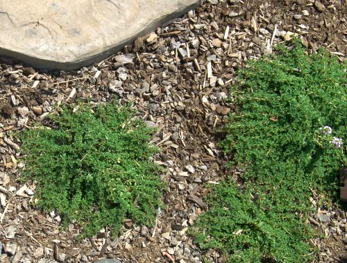 Mint Thyme plants planted in between flagstones