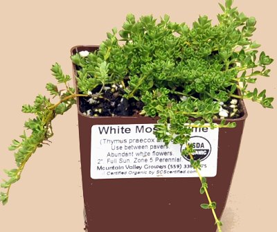 White flowering White Moss Thyme ready for shipping.