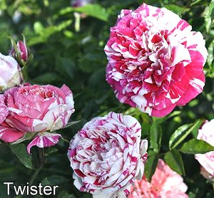 Twister Miniature Rose