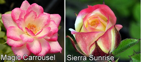 Magic Carrousel and Sierra Sunrise Miniature Roses