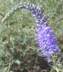 The Elegant bloom of the Veronica Spicata