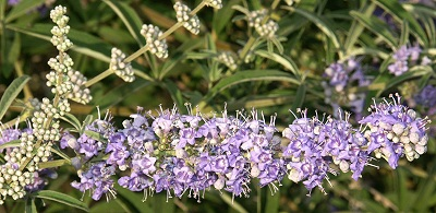 Vitex or Chaste Tree Flower