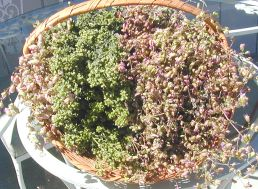 Culinary and Ornamental Oregano Flowers